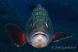 Mediterranean Grouper - Sardinia.  by Jim Garland