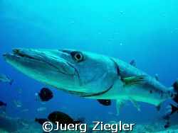 Big Barracuda (1.50 m) comes close to check out what is h... by Juerg Ziegler