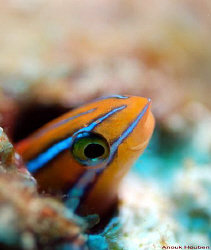 Scale-eating sabretooth blenny, Plagiotremus tapeinosoma.... by Anouk Houben