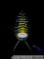 Oriental Sweetlip frontshot with cleanerwrasse.  by Serge Abourjeily