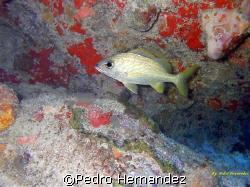 French Grunt,Humacao Puerto Rico,Camera DC 310 by Pedro Hernandez