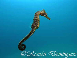 Seahorse in the Sea of Cortéz by Ramón Domínguez