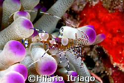 Shrimp over anemonae, Can cun Mexico by Hilario Itriago