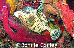 Spotted Trunkfish seen in St. Maarten.  Photo taken Augus... by Bonnie Conley