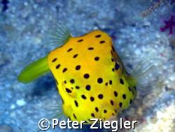 Yellow Boxfish smiling at you!  Mataking Island, Sabah,... by Peter Ziegler