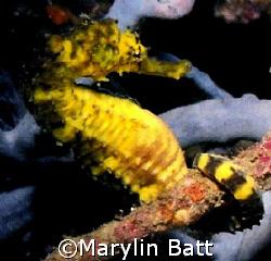 Yellow sea horse.  Nikonos V 1:2 extension tube by Marylin Batt