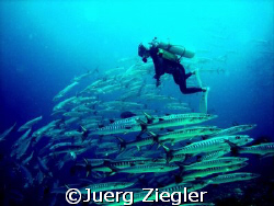 Scuba Diver looking amazed at big barracuda school