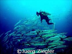 Scuba Diver looking amazed at big barracuda school  Sip... by Juerg Ziegler