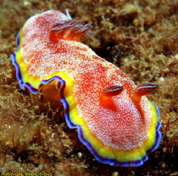 Nudibranch, Chromodoris albopunctata. Picture taken off N... by Anouk Houben