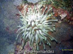 Giant Sea Anemone,Humacao, Puerto Rico,Camera DC310 by Pedro Hernandez