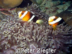 Anemone with two lovely clown fishes  Mataking Island, ... by Peter Ziegler