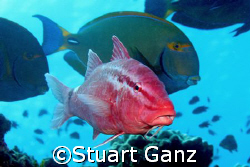 Goat fish in a school of tangs.  by Stuart Ganz