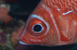 White-tail squirrelfish, Sargocentron caudimaculatum. Pic... by Anouk Houben
