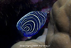Juvenile Emperor Angelfish on a stormy morning on the eas... by Tobias Reitmayr