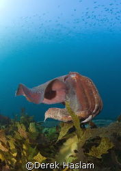 Giant cuttle fish. Sydney. D200, 10.5mm. by Derek Haslam