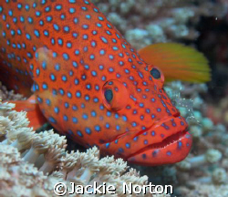 Rock Cod with cleaner shrimp taken on Abdulla's TillA by Jackie Norton