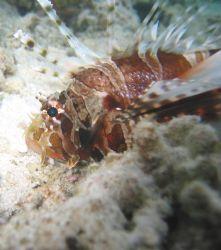 Zebra Lion Fish Canon Powershot S40 on macro no flash by Steve Dance