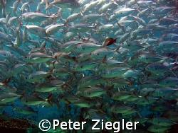 Jack Fish School  Sipadan, Barracuda Point, Sabah/Borne... by Peter Ziegler