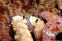 Pair of nudibranchs, Risbecia pulcella. Picture taken off... by Anouk Houben