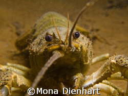 crayfish close up, taken in the Blausteinsee, close to Aa... by Mona Dienhart
