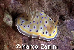 nudibranch dar es salaam by Marco Zanini