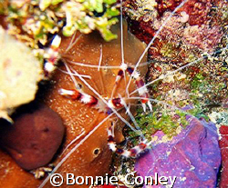 Banded Coral Shrimp in St. Maarten.  Photo taken with a P... by Bonnie Conley