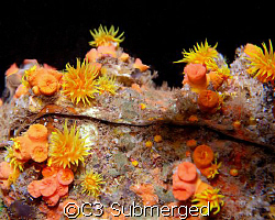 Clear Reflection: Orange cup coral reflection in an air b... by C3 Submerged