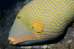 Orange Triggerfish taken at Bida Nok, Phi Phi Islands. No... by Tobias Reitmayr