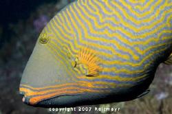 Orange Triggerfish taken at Bida Nok, Phi Phi Islands. No... by Tobias Reitmayr