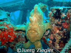 Giant Frogfish on Wreck says hallo  Mabul, Sabah/Malaysia by Juerg Ziegler