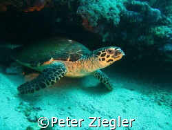 Turtle coming out of small cave  Puerto Gallera, Sabang... by Peter Ziegler