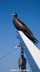 Magnificant frigate bird joins our boat by Steve Laycock