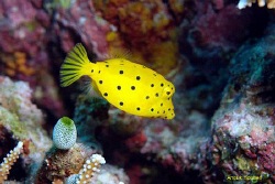 Juvenile Cube boxfish, Ostracion cubicus. Picture taken i... by Anouk Houben