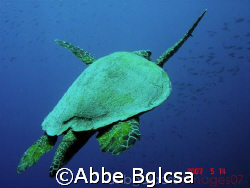 Flight of the Turtle - Tubbataha, Philippines by Abbe Bglcsa