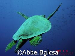 Flight of the Turtle - Tubbataha, Philippines by Abbe Bglcsa
