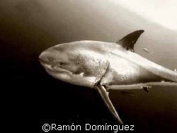 Great white shark at Guadalupe island by Ramón Domínguez