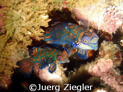 Mating Mandarin Fishes having Fun