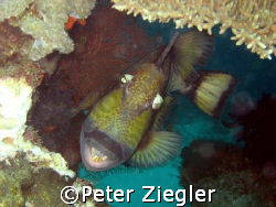 Titan Trigger Fish - many divers NEVER wish to get so clo... by Peter Ziegler