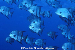 Spade fish  La  Parguera Puerto Rico by Candido Gonzalez-Alonso