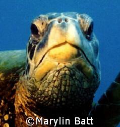 Close up of Green Turtle taken off Kauai, Hawaii. Nikono... by Marylin Batt