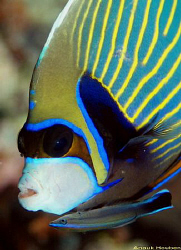 Emperor angelfish, Pomacanthus imperator with a common or... by Anouk Houben