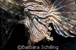 Curious Lionfish  by Barbara Schilling