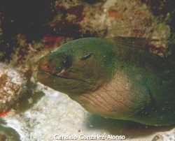 Green moray at Parguera Puerto 8/28/07.Equipment Nikon N7... by Candido Gonzalez-Alonso