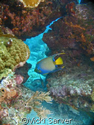 Queen Angel Fish at Molasses Reef-Key Largo, FL by Vicki Sarver