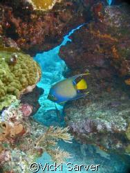 Queen Angel Fish at Molasses Reef-Key Largo, FL by Vicki Sarver
