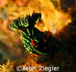 Nice Nudy CLose Up   Sabang, Puerto Gallera, Mindoro, P... by Peter Ziegler