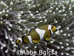 Taken in Beatrice Rock, Anilao, Batangas.  Clown Fish pho... by Abbe Bglcsa