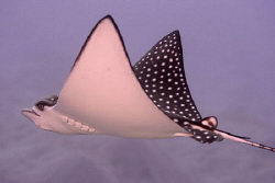 eagle ray marsa alam sept 07