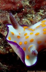 Nudibranch,  Risbecia pulcella. Picture taken off Weligam... by Anouk Houben