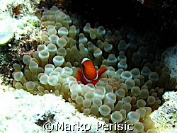 Clownfish Gilli islands Indonesia  by Marko Perisic